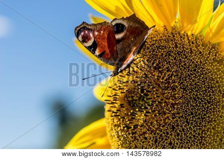 Butterfly sitting in the sunflower and sucking nectar