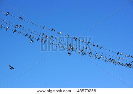 Swifts (Apus apus) on wires under blue sky