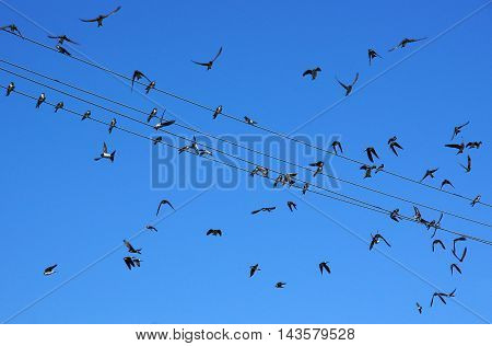 Swifts (Apus apus) on wires and near them under a blue sky