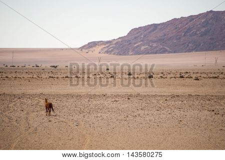 Wild Horse Walking In To Desert
