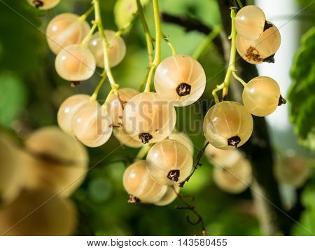 white currant in the garden close up