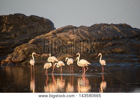 Flamingos At Tidal Pool