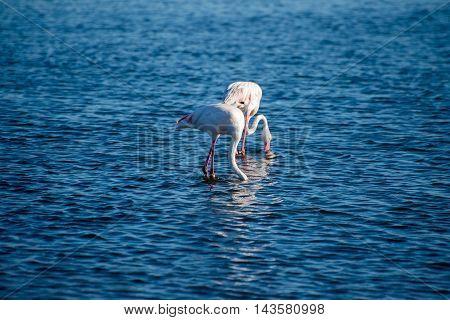 Flamingos Feeding In The Ocean