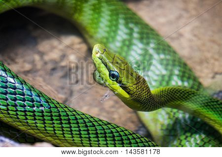 Red tailed Green Rat snake with the body curled up
