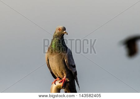 A closeup shot of Rock Pigeon. Portrait of Rock Pigeon perched
