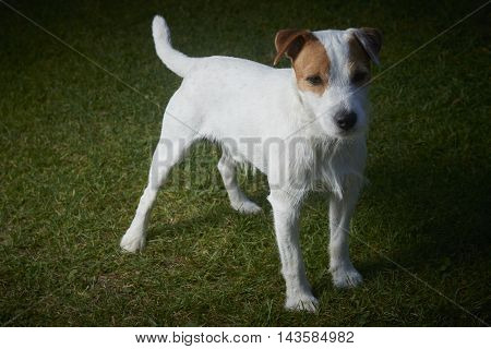 Jack Russell Parson Terrier dog standing on green grass