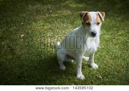 Jack Russell Parson Terrier pet dog sitting on green grass