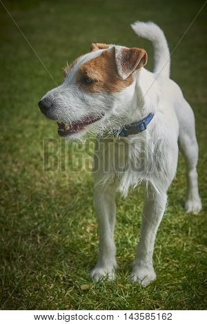 Jack Russell Parson Terrier pet dog standing on green grass