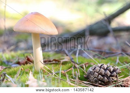The pine cone and inedible mushroom growing in the foirest close-up photo