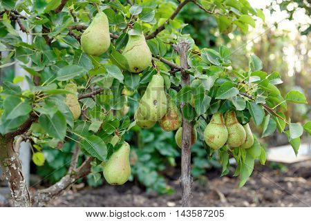 Plenty of pears growing on a pear tree