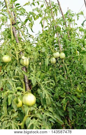 Bunch of unripe green tomatoes growing in a garden.