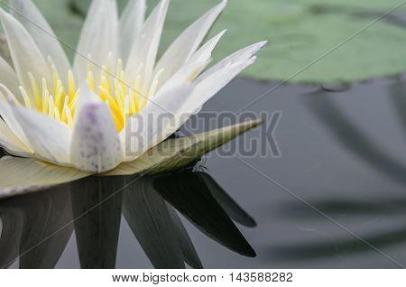 beautyful bossom white lotus on water background