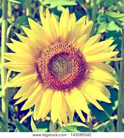 helianthus.  Beautiful sunflower field in summer. yellow flowers