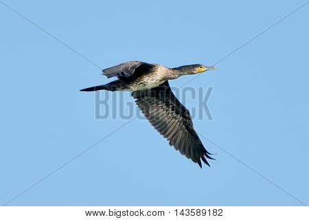 Great Cormorant in flight with blue skies in the background
