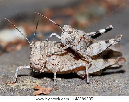 Mating grasshoppers in the garden summer day