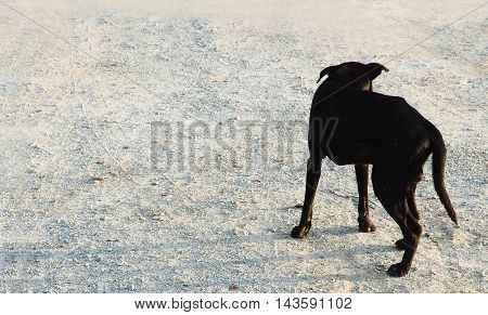 Street dog male black color side and be hide view in Thailand or homeless Dog stand up alone on the flooring gravel.