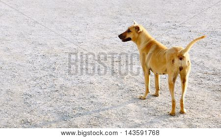 Street Dog female in Thailand or homeless Dog brown color and mount is black color stand up alone on the flooring gravel.
