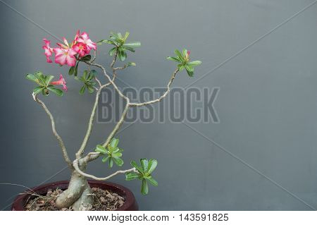 Impala Lily on wall grey color background.