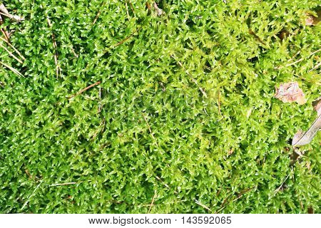 The green wood moss close-up nature background