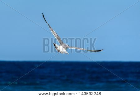 Seagull Is Flying And Soaring Over Blue Sea.