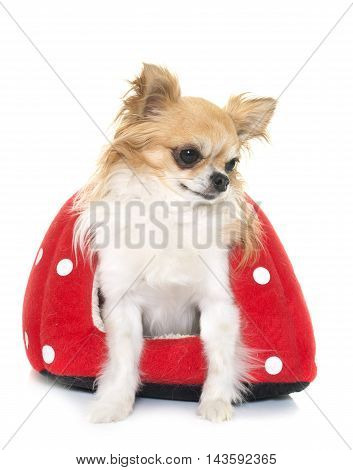 purebred chihuahua and strawberry cushion in front of white background