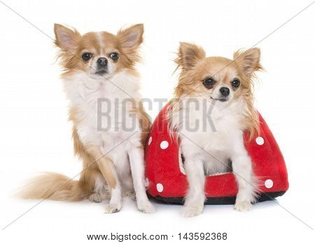 purebred chihuahuas and strawberry cushion in front of white background