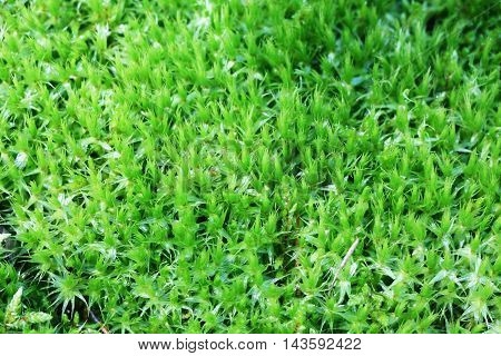 The green forest moss close-up nature background
