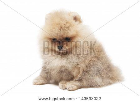 photo of spitz dog sitting isolated on white background