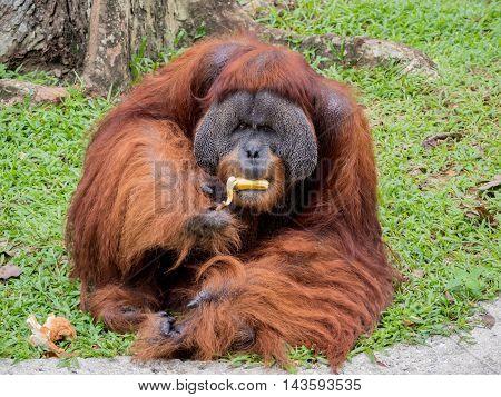 Portrait of a Large Male Orangutan eating banana