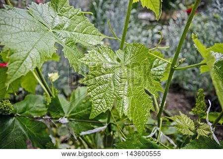 Domestic vine that grows in the garden