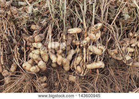 Harvest of peanuts peanut plants with roots closeup