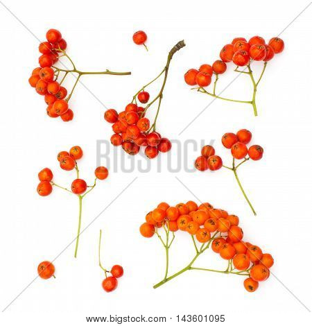 Isolated juicy rowanberries on a white background