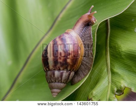 A huge conical shell garden snail crawls on top of green leaves