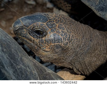 Giant Galapagos turtle face portrait close up