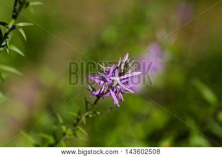 Flowers of a Harebell plant (Asyneuma canescens)