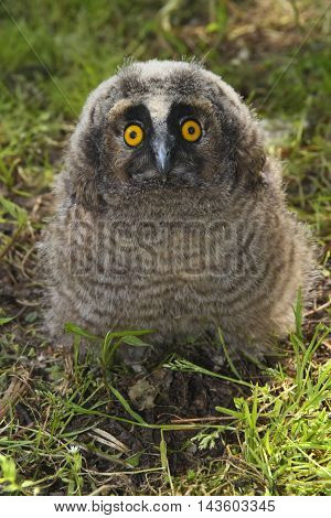 Young long ered owl Asio otus on the ground