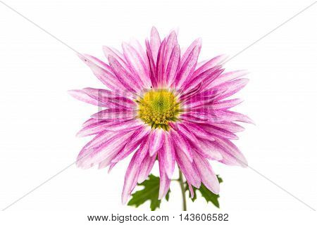 pink chrysanthemum georgina flower on white background