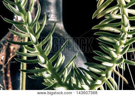 suculent plant in a glas bottle studio macro closeup black background