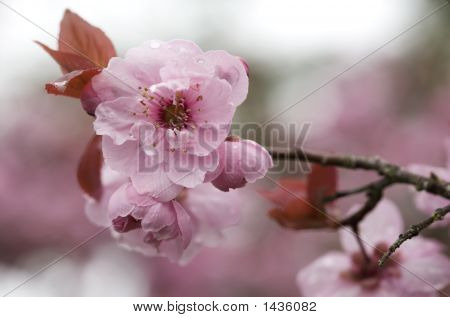 Sakura Branch Outside