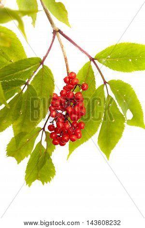 Sambucus Racemosa, Red Elderberry