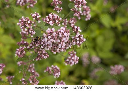 flowering lilac Marjoram plants and bumblebee background