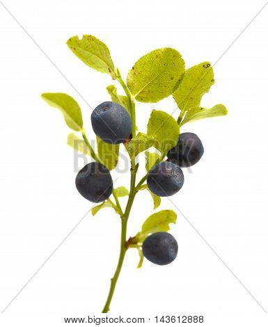 Bilberry Branches With Berries