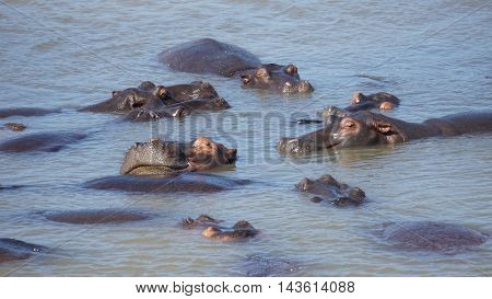 Hippopotami rest in the Saint Lucia lake in South Africa and enjoy the sunny day