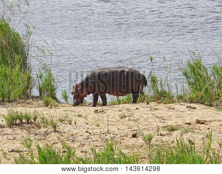 A hippo at edge of a river in Kruger National Park in South Africa on foraging, to the massive body an oxpecker