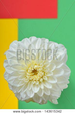 macro of chrysanthemum, beautiful abstract background