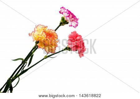 carnation beautiful flower on a white background