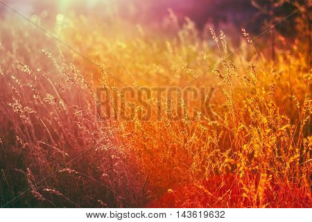 Dry Grass Natural  Background In Sunlight and Bokeh, Boke Background. Later Summer Or Early Autumn Season. Toned Instant Filtered Moody Photo In Warm And Cold Colors - Yellow And Purple, Magenta.