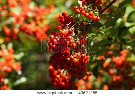 Fruits of a scarlet firethorn (Pyracantha coccinea)