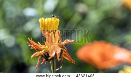 small winged insect on a yellow flower outdoor macro closeup