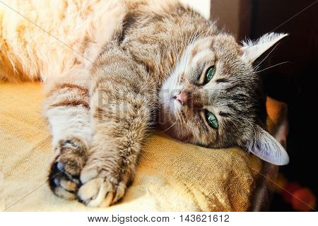 Beautiful domestic cat stretches its paws looking at the camera indoor